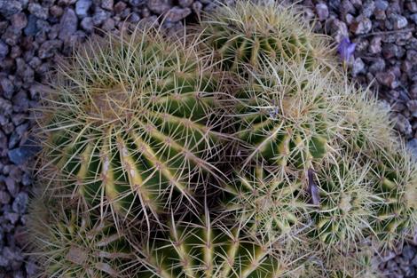 Cactusbarrel