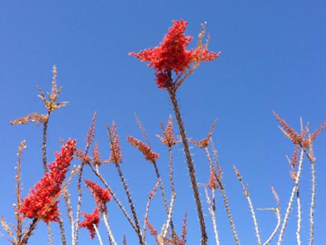 Ocotillo_blooms